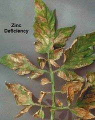 Fertilizer elements what they do deficiency symptoms for Soil zinc deficiency