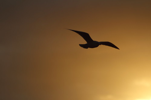 Golden gull