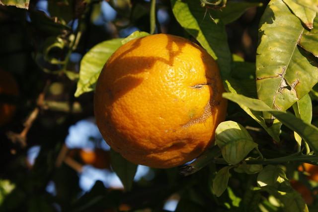 naranja amarga _MG_9141