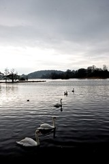 Swans, winter day, Castle Douglas.