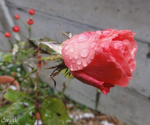 aBLOGjardin-120124-rose