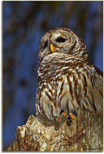 birds closeup florida wildlife owls professionalphotographer birdsofprey floridaimages barredowls photoworkshops phototours cypresshammock dinnerislandwma phototourguide jmwnaturesimagescom audiovisualphotopresentations