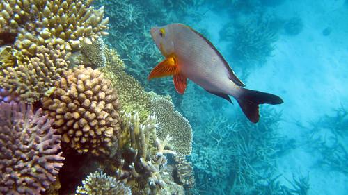海水酸化的影響有如慢性毒藥,會改變魚類歸巢的行為甚至偵測掠食者的能力。(來源:Bruce Tuten)