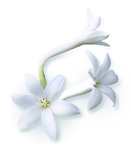 Tuberose (Polianthes tuberosa)