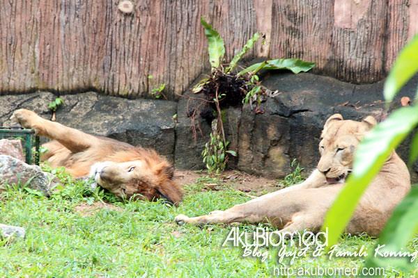 Pasangan Singa