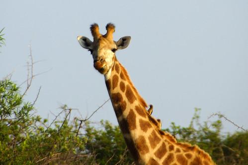giraffe 長頸鹿