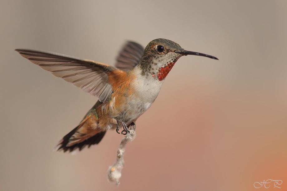 Allen's-Hummingbird012912
