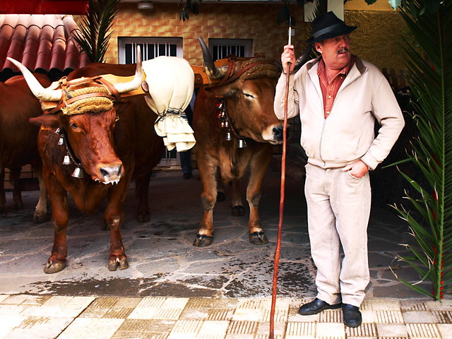 Oxen at San Abad, La Matanza, Tenerife