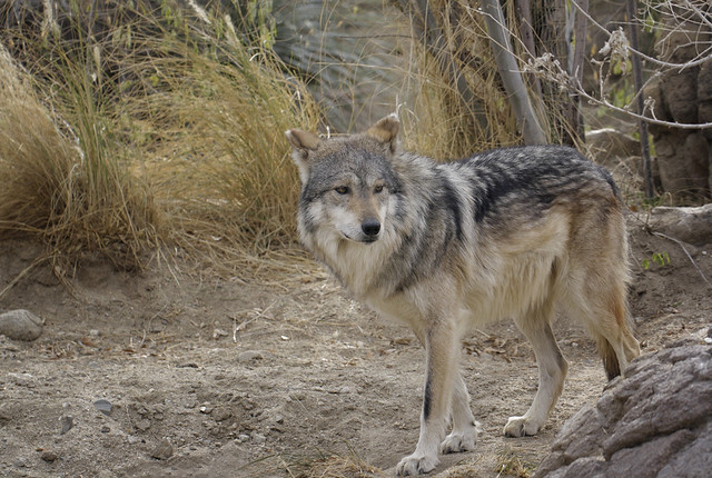 Eos Palm Desert >> Mexican gray wolf | Flickr - Photo Sharing!