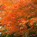 龜岡楓葉紅