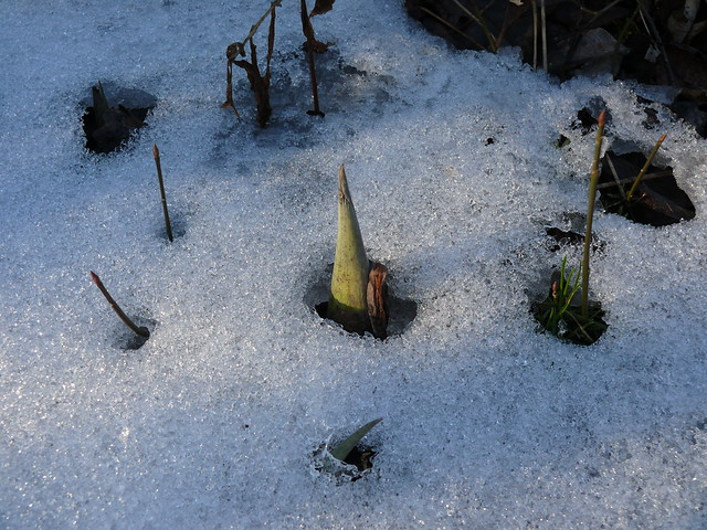 Skunk Cabbage peeking through the snow