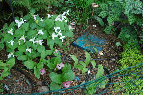 Cypripediums and Trilliums
