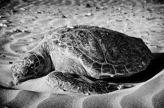 Turtle at Tyre Beach