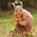 Red Squirrel by lil' bo