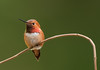 Perched Rufous Hummingbird by Martin Dollenkamp