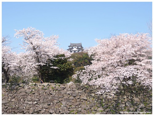 Cherry blossoms & blue sky #02