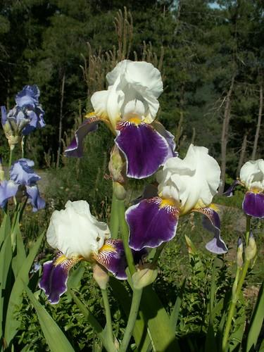 Iris 'Wabash'