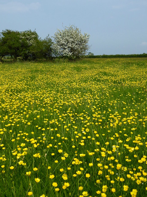 Buttercups and hawthorn blossom