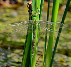 Emperor Dragonfly,teneral,Freshwater,IOW.