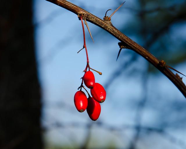 berries_1