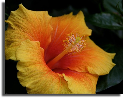 Hibiscus by flowerwine
