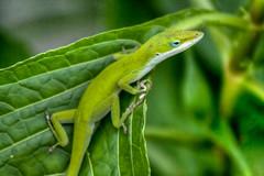 lacerta(0.0), dactyloidae(0.0), animal(1.0), green lizard(1.0), reptile(1.0), lizard(1.0), green(1.0), fauna(1.0), scaled reptile(1.0),