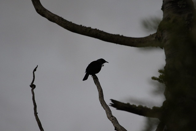 Tui in a kauri tree at dusk