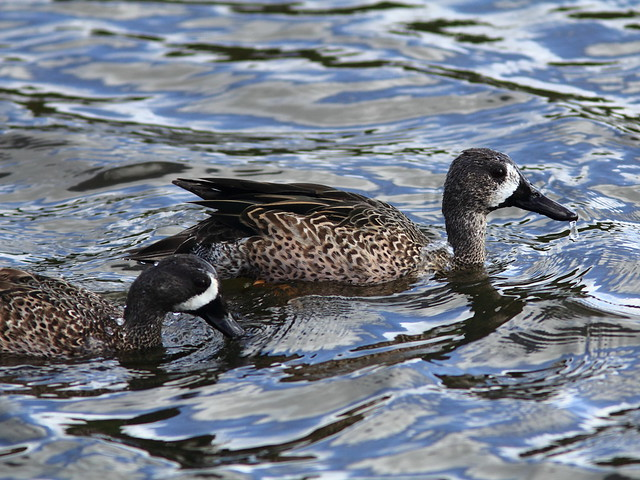Blue-winged Teal 2-20111204