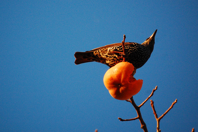 Starling, persimmon