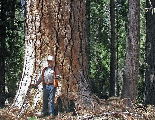 "Tim Lovitt, a seasonal forester, stands next to the base of a 240-foot ponderosa pine, which has a smaller diameter than the ponderosa ""Phalanx."" USFS photo."