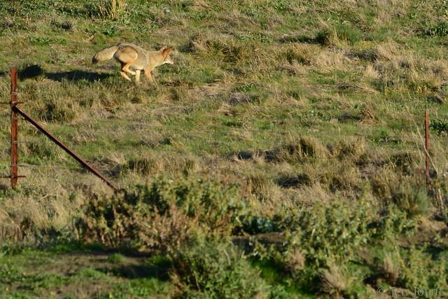 coyote hunt2 2011-11-14