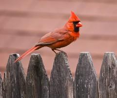 animal, wing, fauna, finch, cardinal, beak, bird, wildlife,
