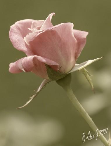 ny newyork flower rose canon bokeh 7d upstatenewyork centralparkschenectady 100mmmacrof28lisusm