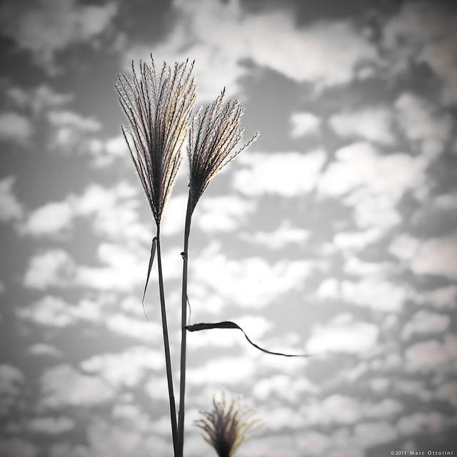 Golden Reeds II
