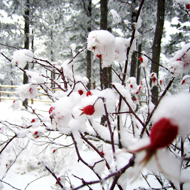 Holiday red rose photo, a winter flower floral botanical art print, of berry red rose hips blanketed in a fresh winter white snow.