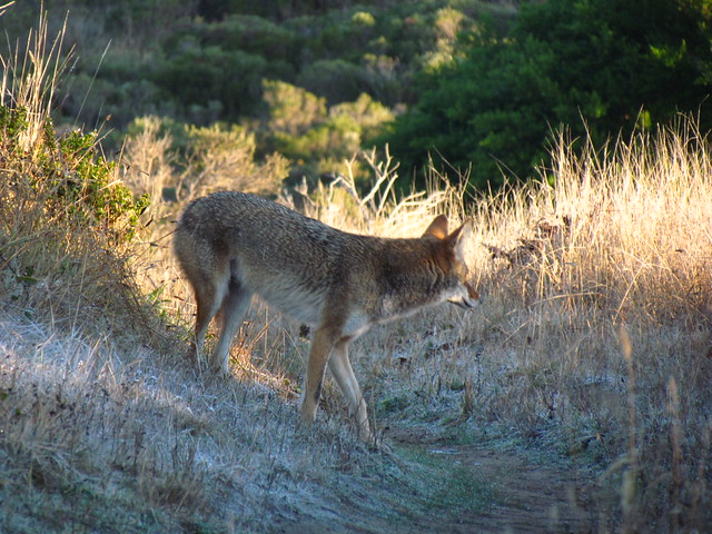 I crossed paths with a coyote this morning. I thought he was looking at me when I took this picture. Darn it!