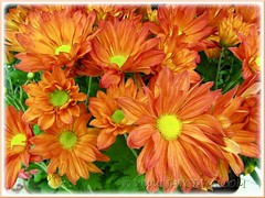 Chrysanthemum hybrid (Mums) with orange flowers at a garden centre