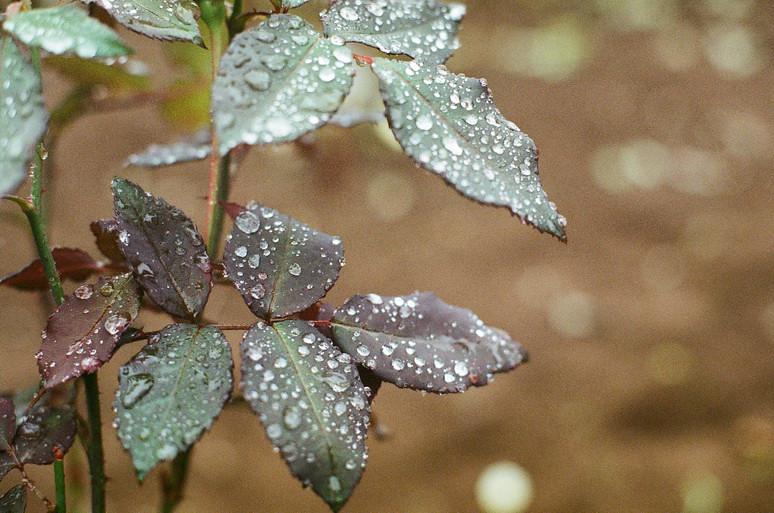 Rainy day,roses garden,drop