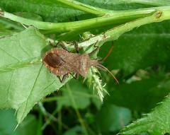 Coreus marginatus (Hemiptera: Coreidae)