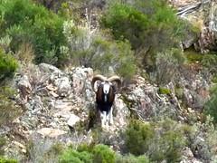 Un mouflon sur le plateau de Lora