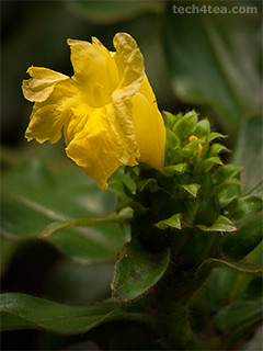 Macro shot of yellow flower in the Sandakan Rainforest Discovery Centre