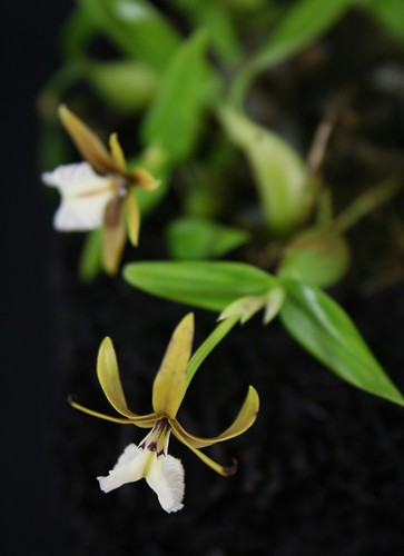 Encyclia polybolbon blooming