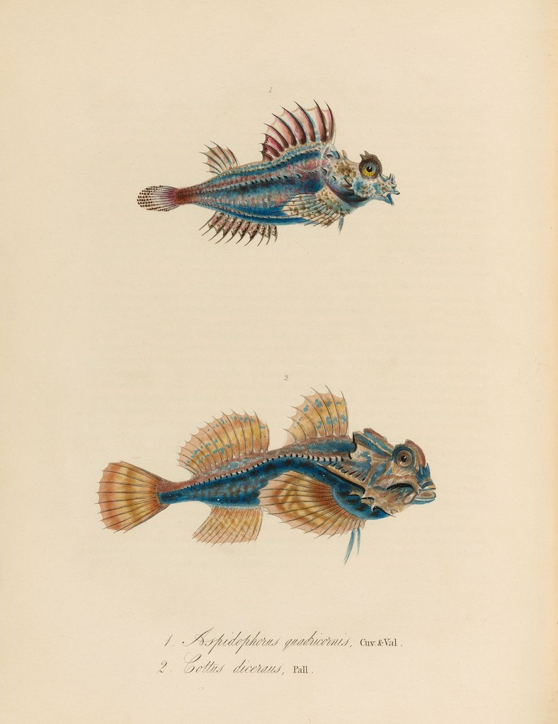 1820s zoology of Captain Beechey - Aspidophorus quadricornis + Cottus diceraus a