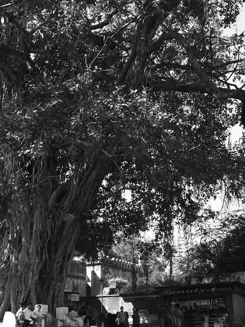 Big tree. Aurangabad, Dec 2011. 2-047