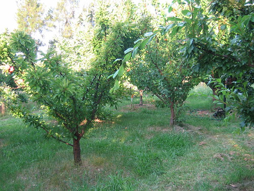 Plum and apricot tree