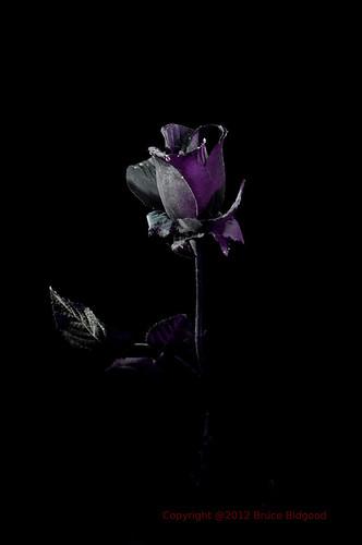 pink black rose background midnight accent proj365 ourdailychallenge
