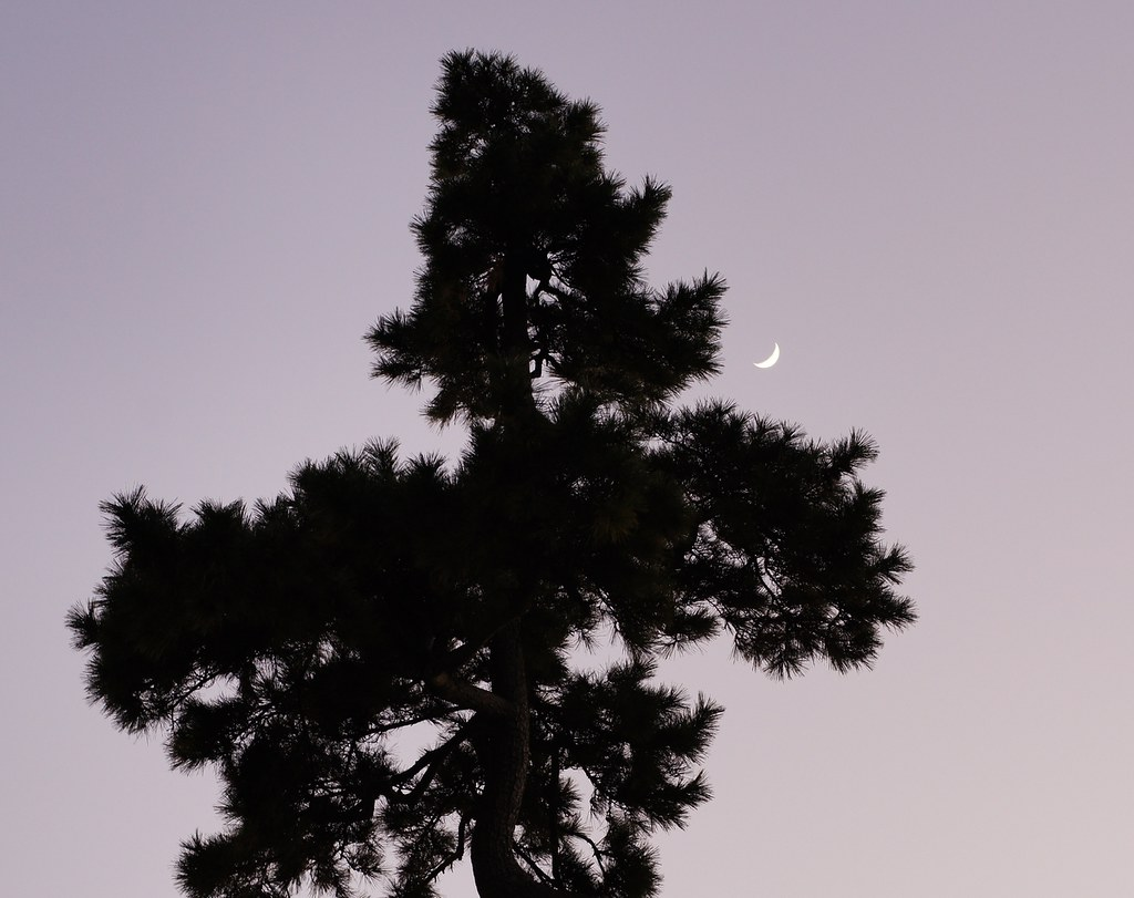Pine and moon