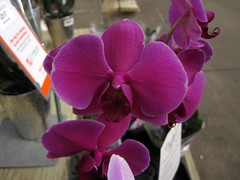 cattleya labiata(0.0), cattleya trianae(0.0), flower(1.0), purple(1.0), violet(1.0), plant(1.0), phalaenopsis equestris(1.0), flora(1.0), moth orchid(1.0), pink(1.0), petal(1.0),