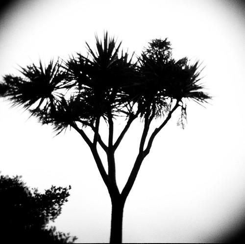 Ti tree