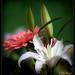 La belleza de las flores........Para ti Ana porque eres mi inspiración